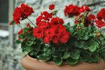 Přemýšlíte, jak ozdobit své balkóny či terasy? Pelargonie jsou tou nejlepší volbou! Mají krásné drobounké kvítky a nepotřebují mnoho péče. Poradíme vám, jak muškáty pěstovat a jak se o ně po zimě postarat, aby vám kvetly až do podzimu.