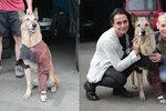 Zraněný belgický ovčák se zase raduje ze života: Dingo děkoval zachránkyním!