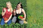 Sladká pohroma: 500 tun českých jahod nechají shnít?!