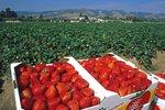 Jahodová sezona začala: Kde koupit pražské jahody a kam vyrazit na samosběr?