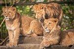 V belgické zoo zastřelili lvici. Hodiny chodila areálem, uspat ji nezvládli