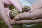 To je radosti! V pražské zoo se vyklubala mláďata vzácného varana moluckého