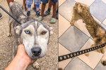 Husky je omrzel, tak ho šoupli do romské osady: Fenka se prakticky ztrácí před očima
