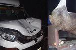 Auta srazila dva divočáky a losa: Zvířata nepřežila! Odborník radí přímý náraz