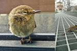 """""""Týden skleněného zabijáka"""": Po nárazech do stěn umře ročně milion ptáků, řešení zatím není"""