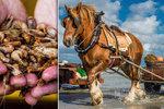 Unikát v Belgii: »Mořský koník« loví krevety! Už 700 let stejným způsobem