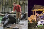 """Vánoce v Zoo Praha: Pro orangutany prostěradla, tygrům míče. Lachtani chystají """"show"""""""