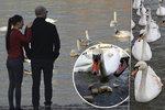 Rohlíky zabíjí! Labutě při procházce Prahou krmte kukuřicí, radí odborník