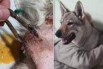 ba3bed242d5 Wolfovi tyranský majitel zacvakl do krku karabinu! Pejsek musel podstoupit  operaci