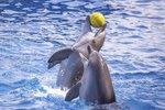Veselí delfíni ve vodních parcích? Omyl, zvířata v nich trpí a truchlí, ukázala studie