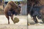 VIDEO: V pražské zoo válí fotbalová hvězda. Má čtyři nohy, kopýtka a navnadí ji meduňka!