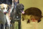 Ježčí mámu v Malešicích rozkousal pes. Odborníci prosí: Hlídejte si své mazlíčky!