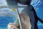 Záběry, ze kterých mrazí: Takhle to vypadá, když vás chce sežrat žralok bílý