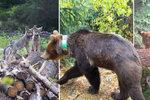 Medvěd, vlk i rys: V Beskydech se opět usadily všechny naše velké šelmy a mají mladé