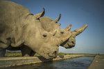 Nelegální obchod s nosorožčími rohy? Vietnamec dostal podmínku, soud žádá další posudek
