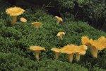 Liška obecná vs. pomerančová: Jak si nesplést jedlou houbu s nejedlou?