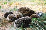 V Prokopském údolí vypustí ježčí puberťáky: Před létem přišli o rodiče, teď se vrací do přírody