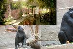 """Gorily v pražské zoo se dočkají fešného """"bejváku"""". Budou mít klid od povodní i sousedy bez zubů"""