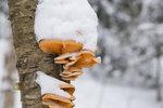 Zimní houby mají léčivé účinky. Kam na ně vyrazit a na jaké nemoci pomohou?