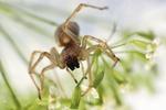 V Česku se přemnožil jedovatý pavouk. Po kousnutí můžete i na čas ochrnout