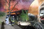 Tragický požár zoo: Uhořeli při něm prarodiče goriláka Richarda!