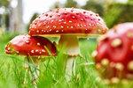 Atlas jedovatých hub: Tyhle do košíku rozhodně nedávejte, varují mykologové