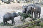 Pichlavá dobrota v pražské zoo! Zvířata si pochutnala na nejslavnějším vánočním stromu Česka