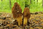 Jaké houby rostou na jaře? Je jich víc, než jste si mysleli!
