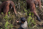 Pomůžu ti, kamaráde! Dojemné foto orangutana: Podává ruku muži, který ho chrání před hady