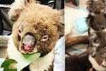 Koalové zachránění z plamenů se zotavují. Trauma z ohně jim zůstane celý život