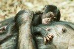 Velká radost v ostravské zoo: Po 10 letech se tu narodilo mládě šimpanze