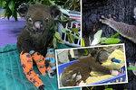 Koalové na vymření: Po ničivých požárech v Austrálii jim vyhynutí hrozí do 30 let
