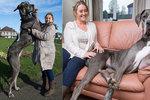 Největší pes světa má další rekord: Gigant ohromil i výjimečným věkem