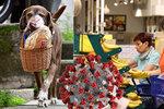 Nákupy z večerky roznáší labrador. Pomáhá s dodržováním rozestupů, chválí zákazníci