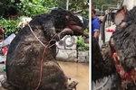 Vyděšení pracovníci našli v kanalizaci krysu velikosti auta! Uplavala při záplavách