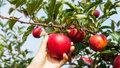 Ovocnářům zmrzl úsměv. Sklizeň klesla o čtvrtinu na 130 tisíc tun