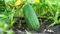 Květen je ideální čas k sázení okurek! Jak na to, abyste měli bohatou úrodu