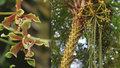 Obrovská rarita vykvetla v botanické zahradě: Třímetrová orchidej voní po skořici