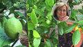 Exotické ovoce na českých zahrádkách: Paní Ivana pěstuje mandarinky, citrony a olivy. Co na to klimatolog?