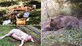 Nestřílejte medvěda tuláka! Lidé se bouří: Petice má už tisíce podpisů