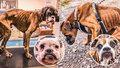 Otřesný případ týrání psů: Pět boxerů vyhublých na kost zachránili vteřiny před smrtí