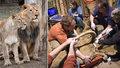 Lvici Ginni v Zoo Praha uměle oplodnili. Zákrok provedli experti z Německa