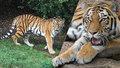 Pražská zoo se pyšní novou tygří slečnou. Arila (3) k nám přijela z Německa