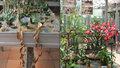 Kaktusy se maskují jako kameny: Brno ukazuje rostlinu s nejdelšími listy na světě