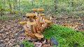 Václavka obecná: Chutná a oblíbená, ale pozor na záměnu s jedovatými houbami