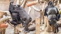 Když se gorily kočkují: Kluci Nuru, Kiburi a Ajabu dospívají, v Zoo Praha dělají pořádný rozruch