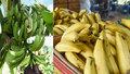 Hrozí nedostatek banánů? Zákeřná nemoc postihla farmy, Australané se bojí o úrodu