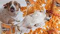 Jack Russell teriér se vyžral sýrovými chipsy na 10 kilo a jde mu o život. Musí držet mrkvovou dietu