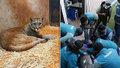Skutečný návrat divoké zvěře do vylidněných měst: Po metropoli se toulala puma!