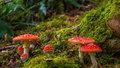 Nejznámější české muchomůrky. Které to jsou a jak je bezpečně poznat?